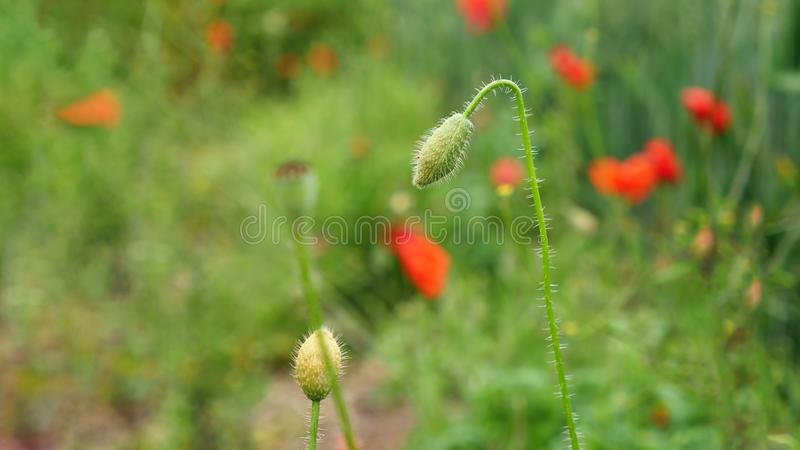 Bud of a closed poppy flower in a big poppy field royalty free stock images
