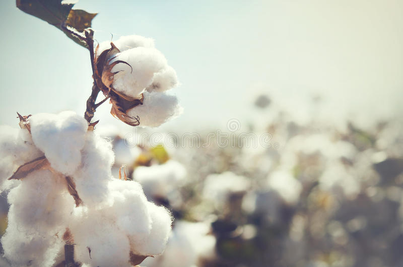 Bud cotton rop. Bud cotton crop landscape photo with copy space area royalty free stock photos