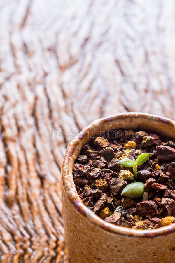Bud leaf of small succulent plant growing on the laterite grave stock photography