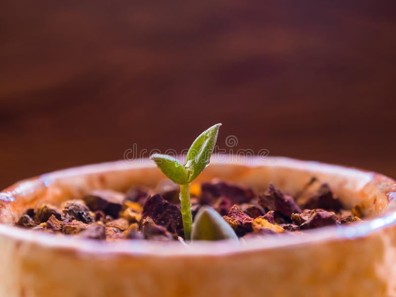 Bud leaf of small succulent plant growing on the laterite gravel stock photos