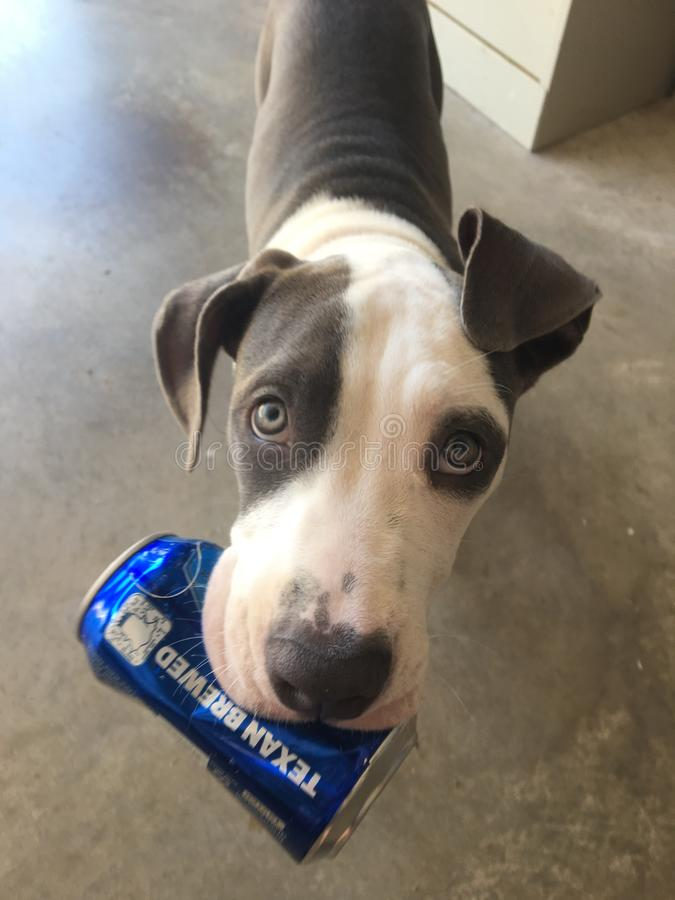 Bud light Dog stock images