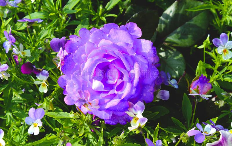 Bud of a lilac rose on a background of violets. Big beautiful rose and multi-colored pansies in the flowerbed. Flowers royalty free stock photo