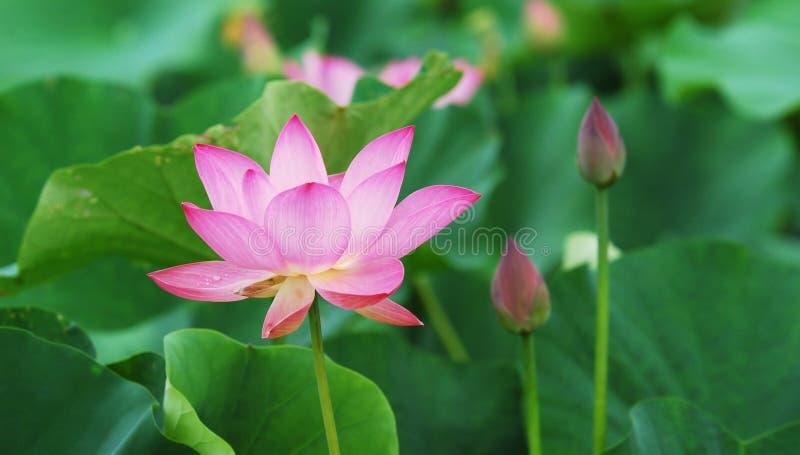 bud lotos obrazy royalty free