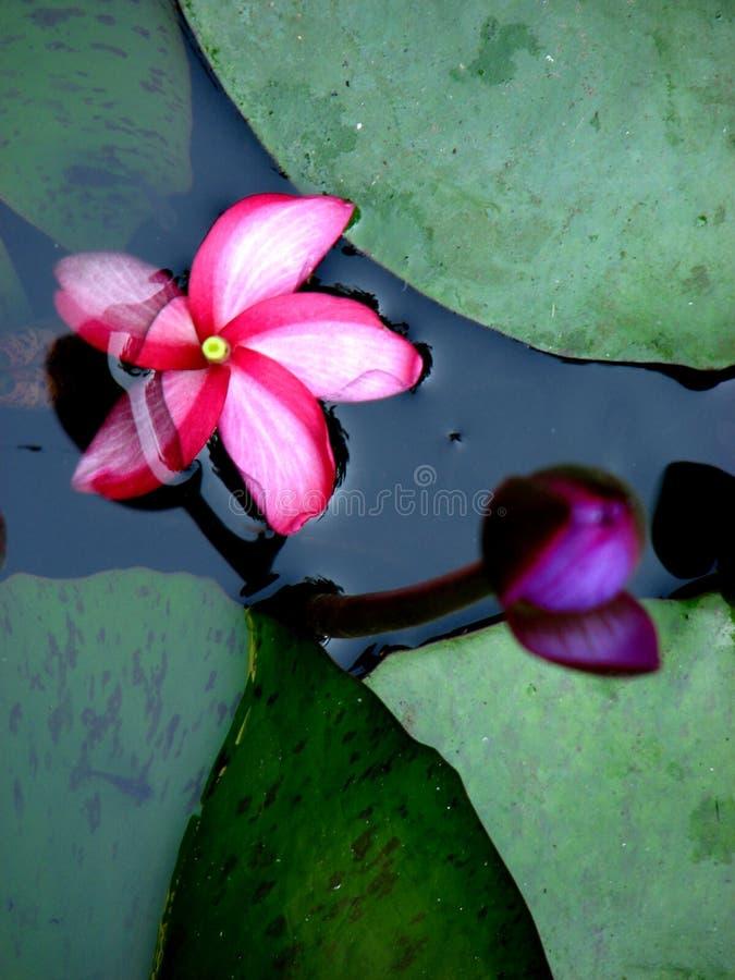 bud n kwiat zdjęcie royalty free