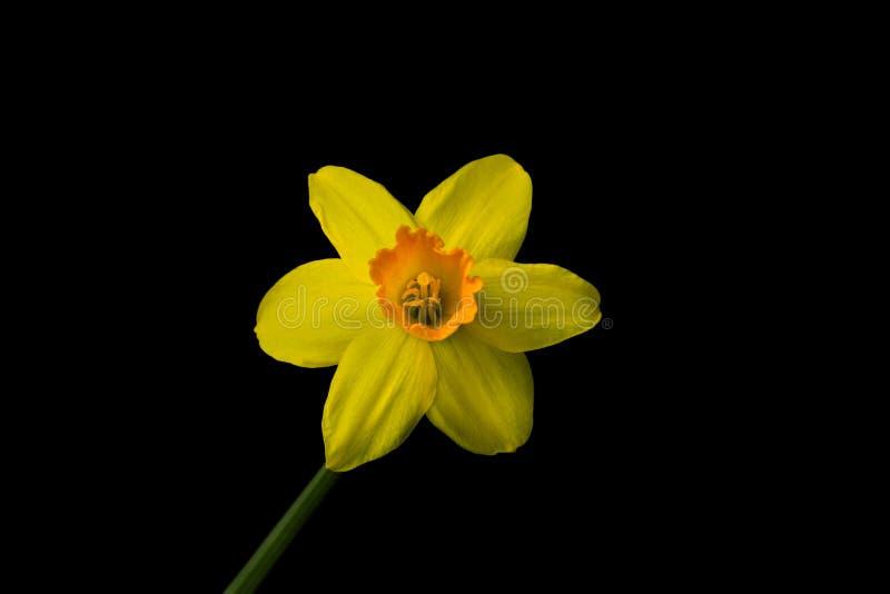 Bud Narcissus lizenzfreies stockfoto