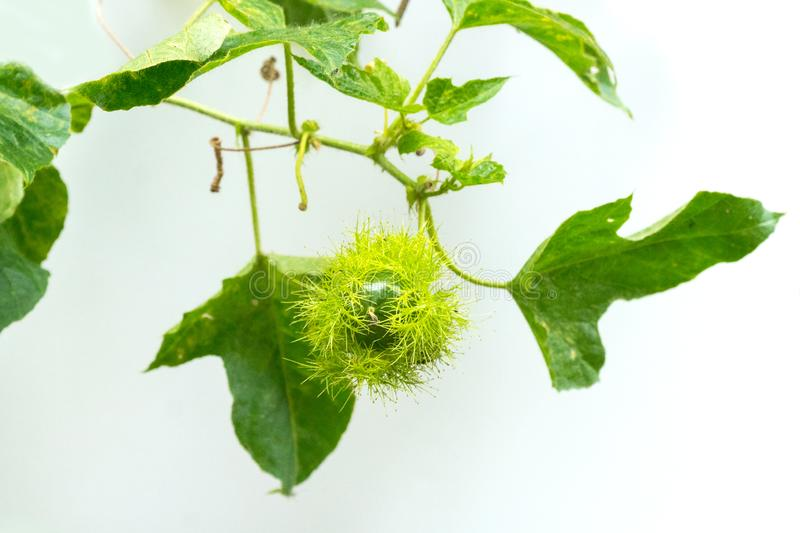 Bud of passionflower Passiflora foetida L. royalty free stock photos