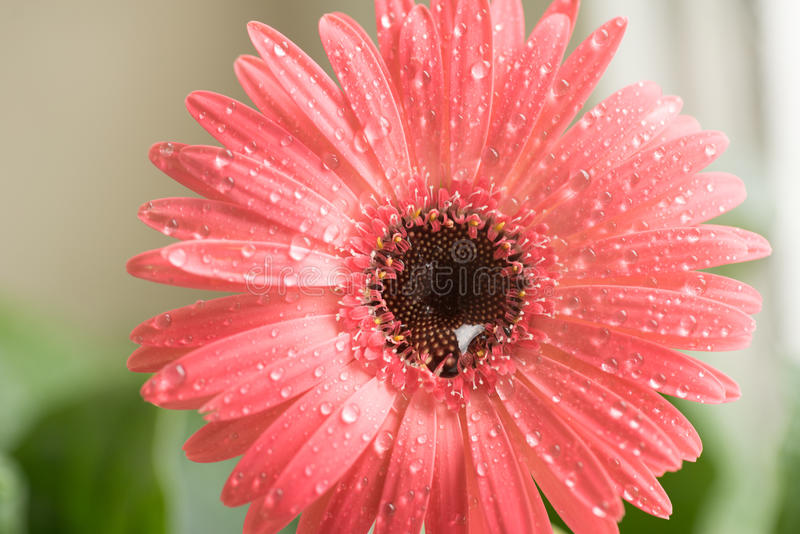 Bud of pink gerbera flower closeup. Dew and water droplets on the petals. Macro. Stock photo.  stock illustration