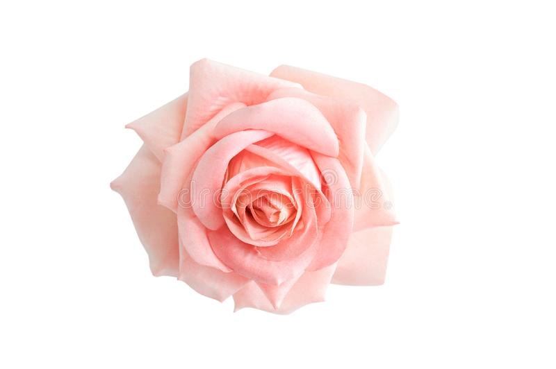 Bud Pink Rose vit isolat arkivbilder