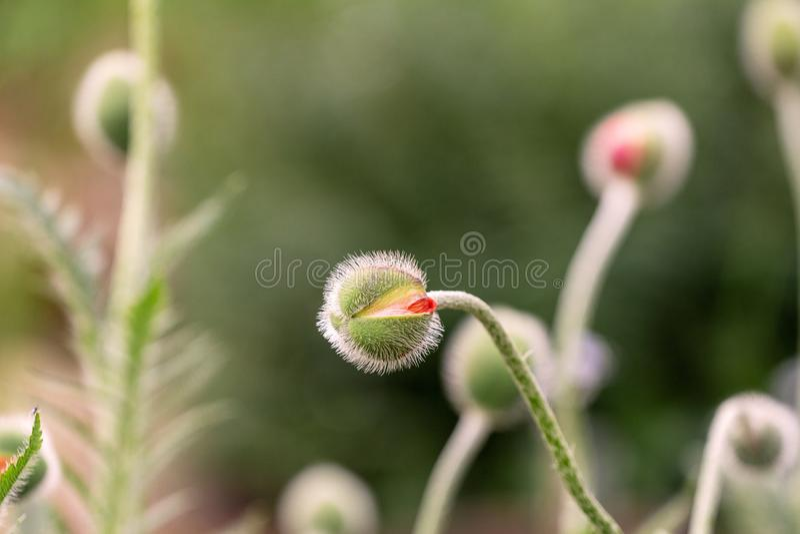 Bud of poppy. Not opened bud stock images