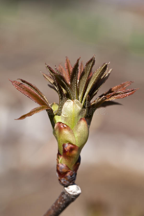 Bud from a Red Buckeye Tree in the Early Spring stock photos