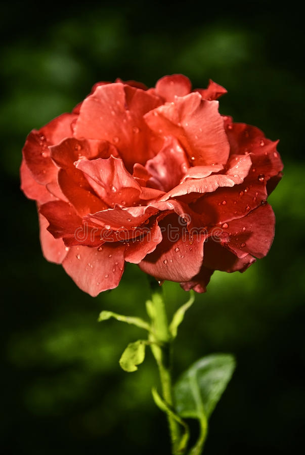 Bud of a red rose. royalty free stock image