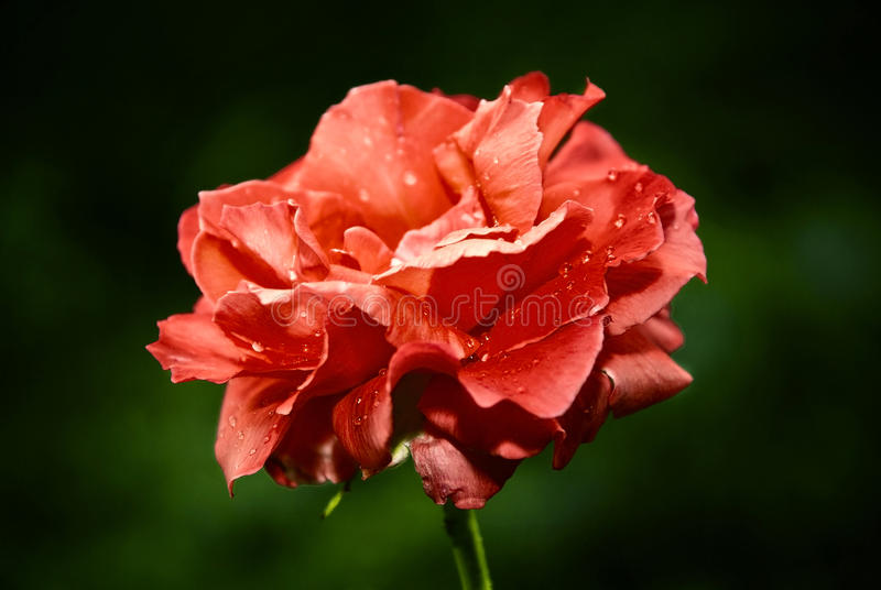 Bud of a red rose. royalty free stock photo