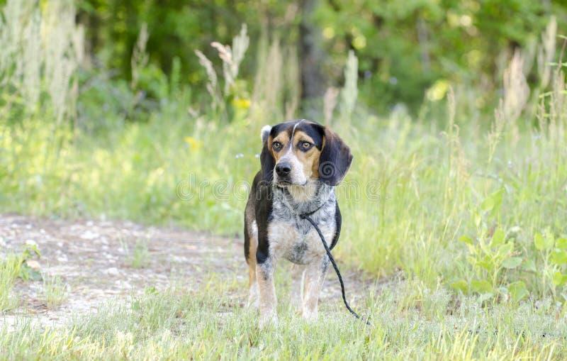 Beagle hound rabbit dog stock photo