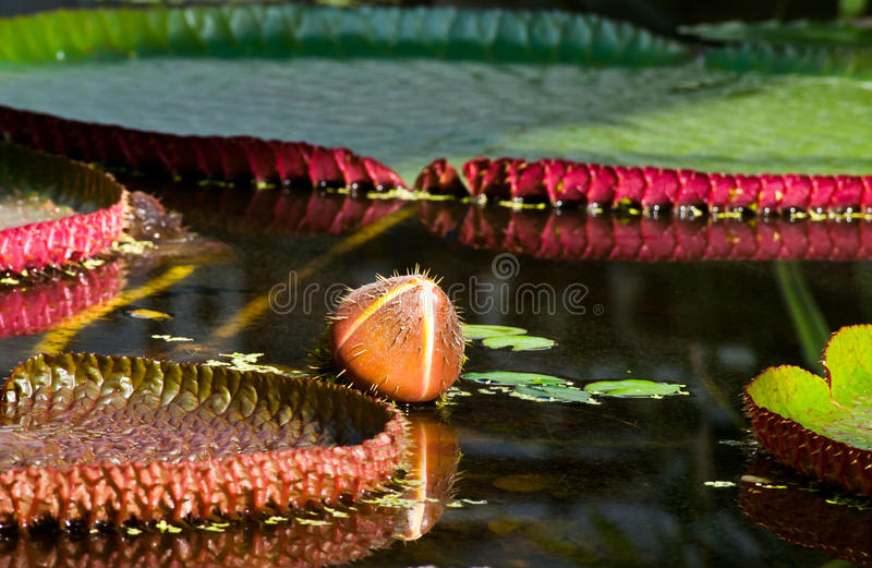 Download Bud On The Water- Victoria Amazonica Stock Photo - Image of serenity, lily: 24437986