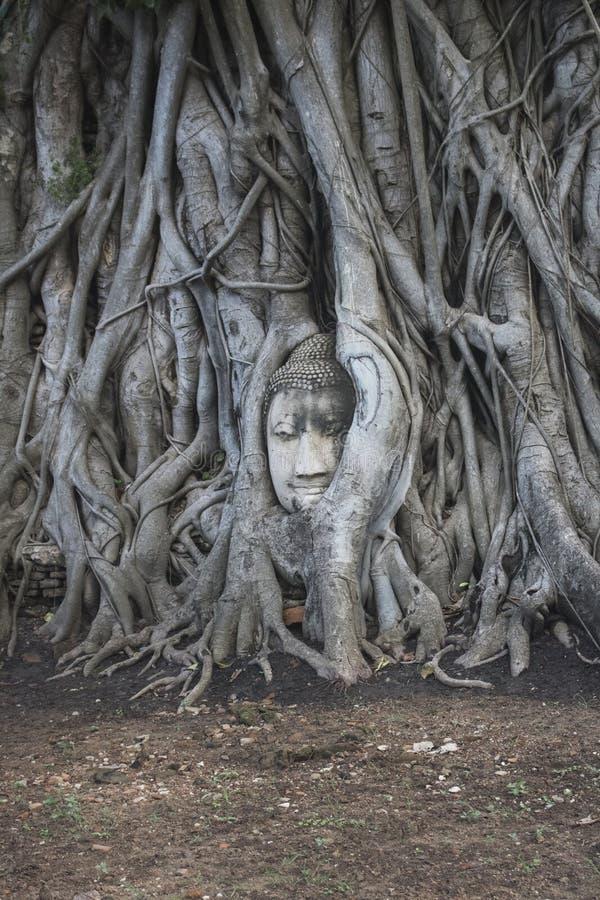 Buda dirige la estatua atrapada en raíces del árbol de Bodhi en Wat Mahathat Parque histórico de Ayutthaya en Tailandia fotos de archivo