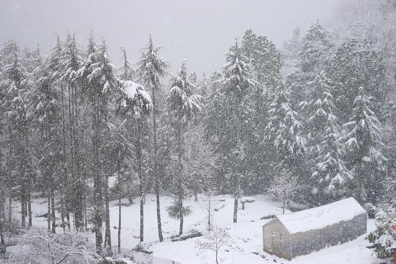 Buda i Deodar drzewa zakrywający śniegiem w Ciężkim opad śniegu w Indiańskiej Himalajskiej wiosce, Uttarakhand obrazy stock