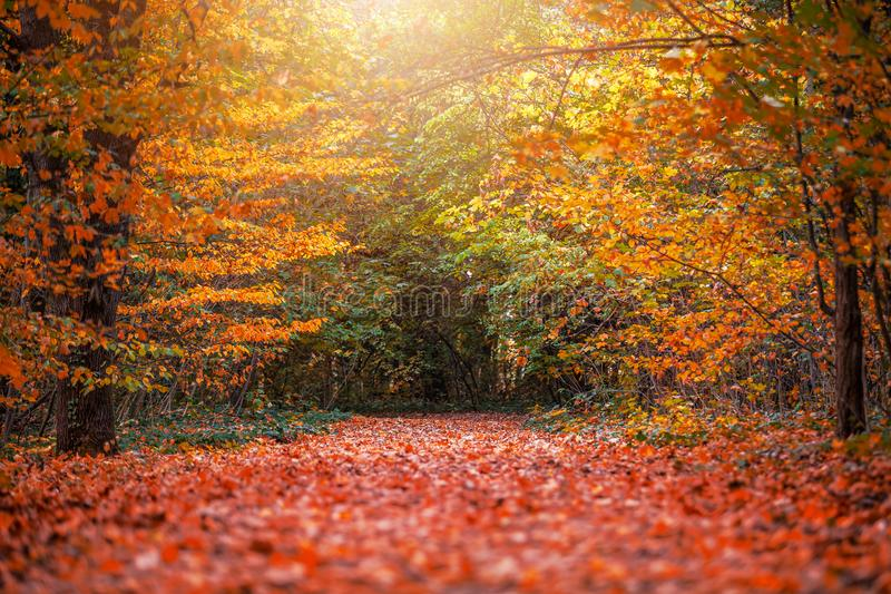 Budapest, Hungary - Autumn forest scenery with footpath of fall leaves and warm sunlight in the woods. Near Budapest at October royalty free stock image