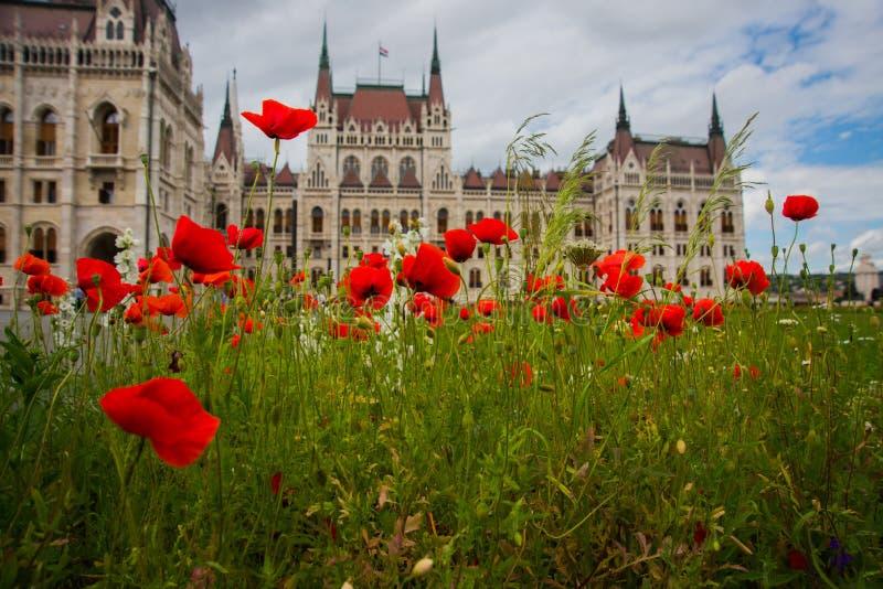 Budapest, Hungría: Amapolas y flores rojas florecientes hermosas en hierba verde cerca del edificio del parlamento en Budapest foto de archivo