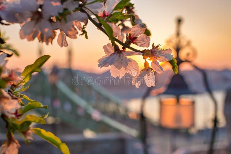 Budapest, Hungría - flor de cerezo en una salida del sol de la primavera con los posts de Liberty Bridge y de la lámpara imagen de archivo libre de regalías