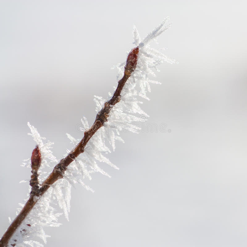 Download Budded Twig Covered In Hoar Frost Stock Photo - Image of macro, seasonal: 64649342
