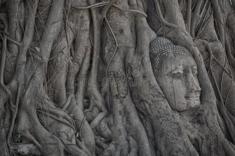 Buddha-Haupt überwältigt durch Feigenbaum in Wat Mahathat, der in historischem Park Ayutthaya fand, der berühmte alte Tempel in T lizenzfreies stockbild