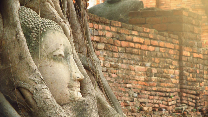 Buddha head statue under root tree royalty free stock images