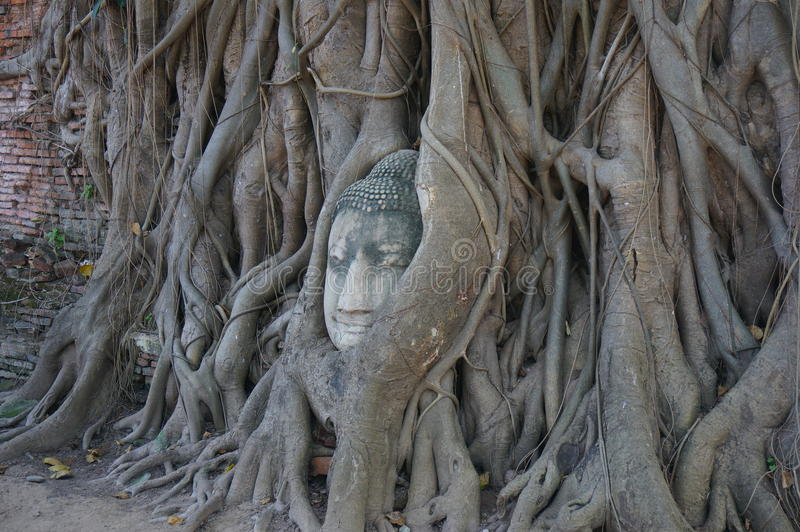 Buddha head in a tree root stock photography