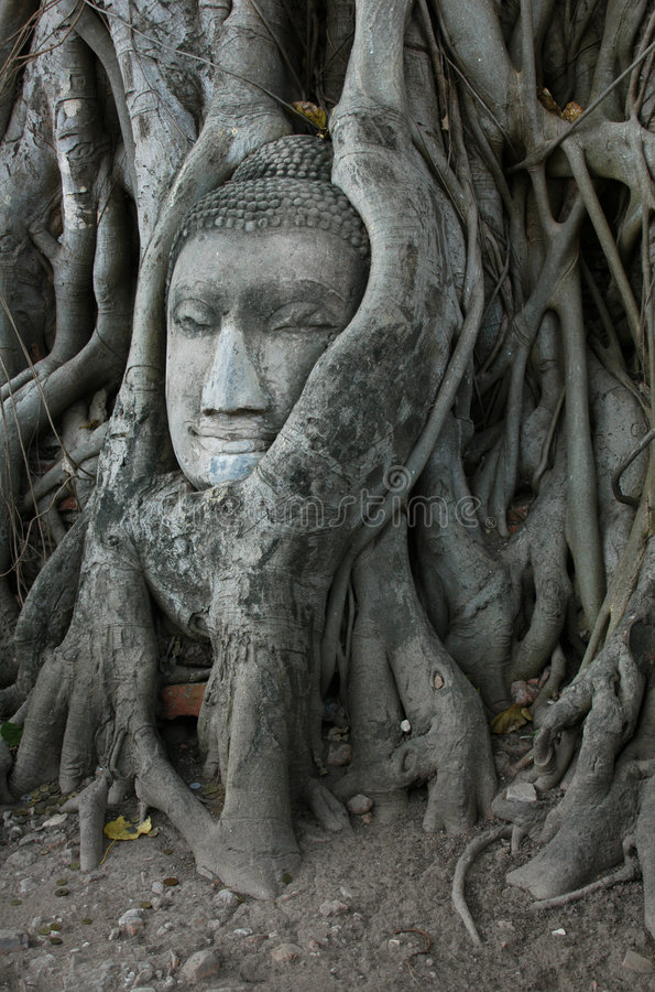 Buddha-Kopf umgeben von Roots stockfoto