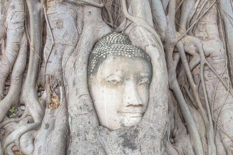 Buddha's head in the tree roots stock photos