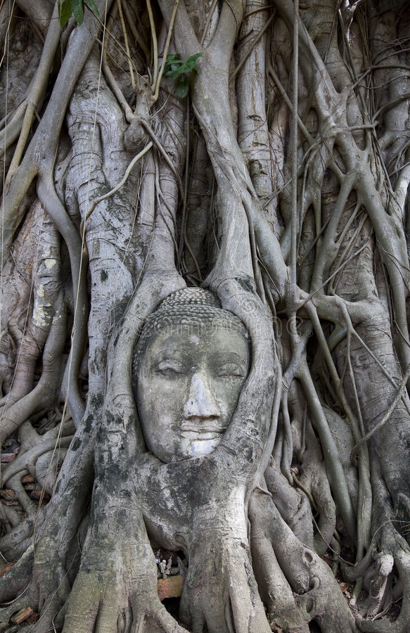 Download Buddha Statue With Roots Surround, Thailand Stock Photo - Image: 6475976