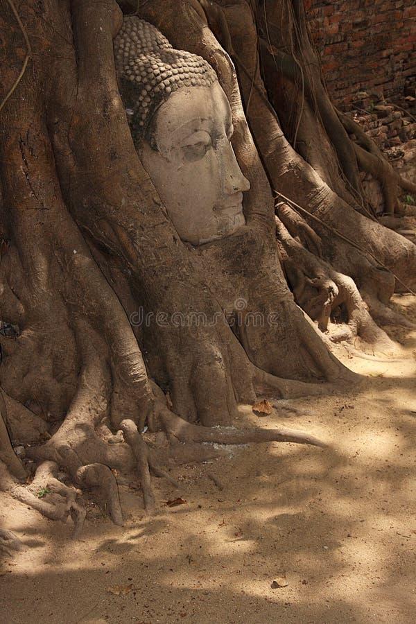 Buddha wizerunku głowa wtykająca w drzewie obraz stock