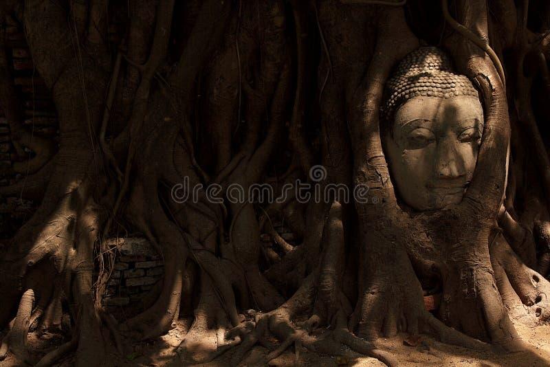Buddha wizerunku głowa wtykająca w drzewie fotografia royalty free