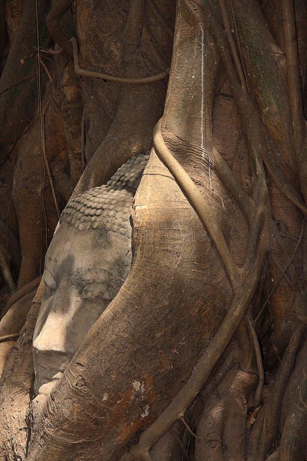 Buddha wizerunku głowa wtykająca w drzewie zdjęcie stock