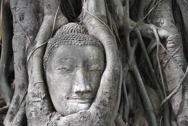 Buddhahuvud i träd, Thailand arkivfoton