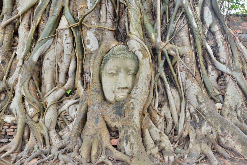 Buddhahuvud inbäddat i ett banyanträd Wat Mahathat Ayutthaya thailand royaltyfri bild