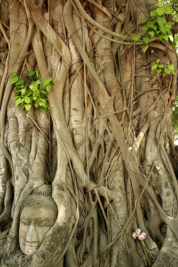 buddhas banyan głowę Thailand drzewo obraz stock