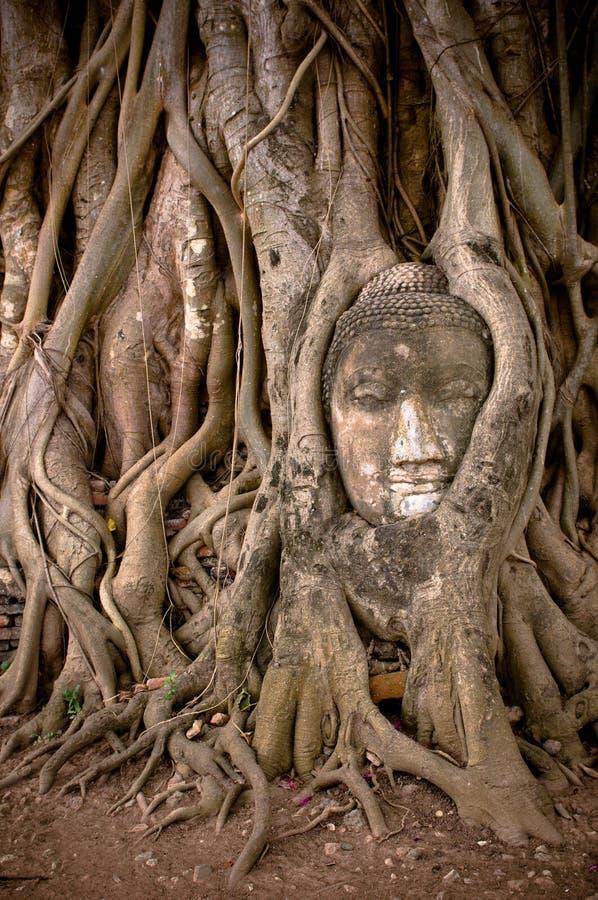 Buddhas huvud i banyantree rotar arkivbilder
