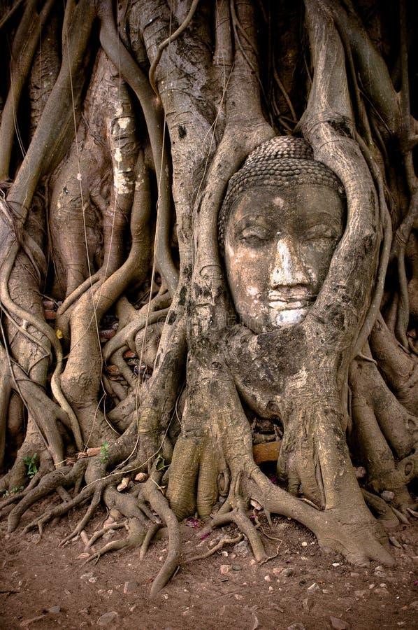 Buddhas Kopf in den Bantambaumbaumwurzeln stockbilder
