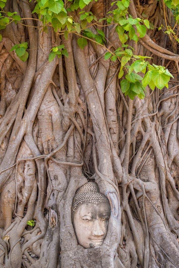 Buddhas Kopf im Baum stockbilder