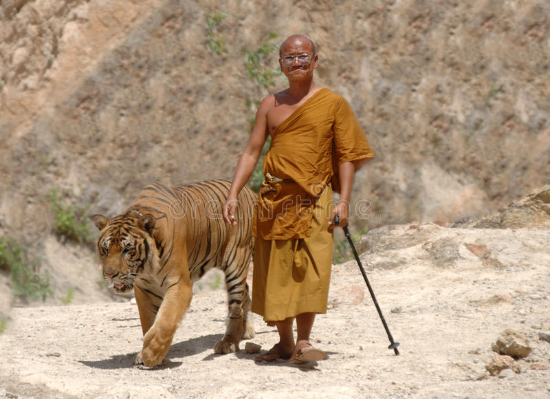 Buddhist monk walking with bengal tiger,thailand stock photography