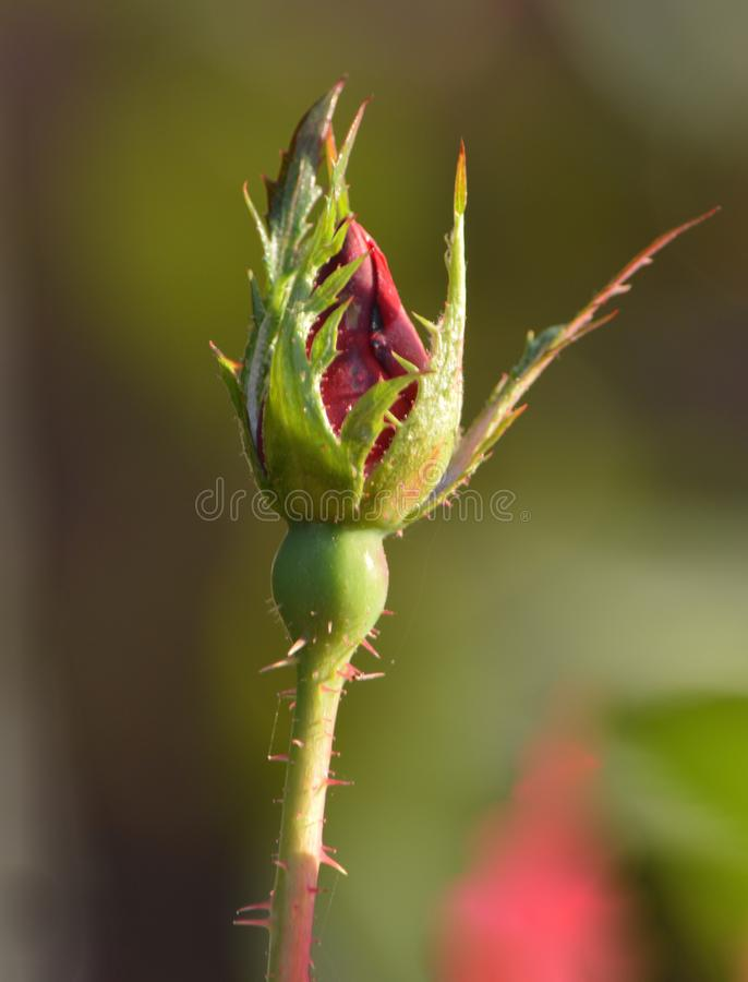 The budding of a beautiful rose. After winter begins to fade away and spring begins to bloom royalty free stock photos