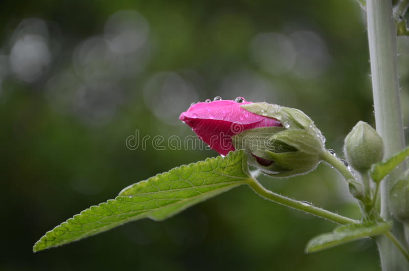 Budding flower. ,pink,green leaf,water Drop royalty free stock photo