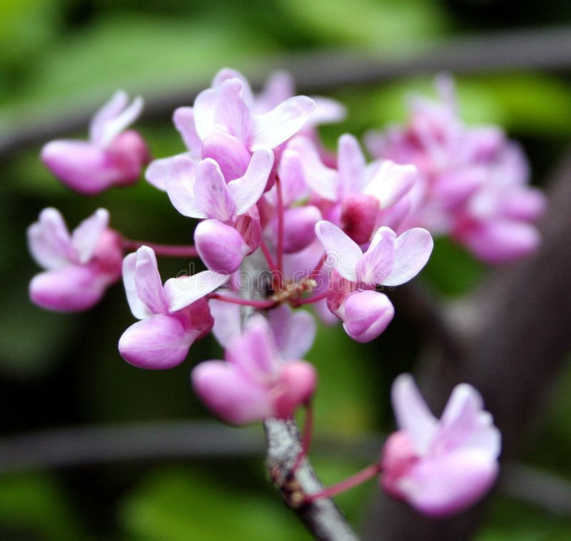 Download Budding Flowers Royalty Free Stock Photo - Image: 510495