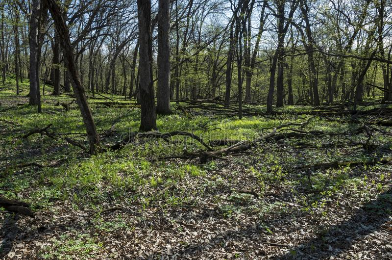 Budding Forest in Spring at Flandrau State Park. Budding forest during spring along ridge at flandrau state park in new ulm minnesota royalty free stock images