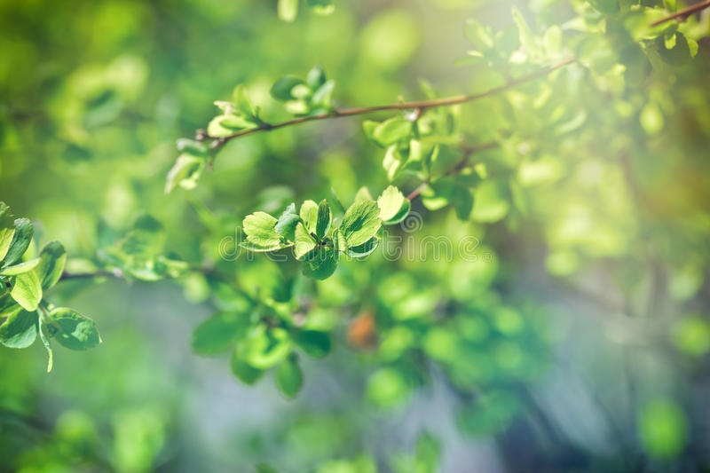Budding leaves - Fresh spring leaves (life begins). Budding spring leaves lit by sunlight (sunbeams), new life coming royalty free stock photos