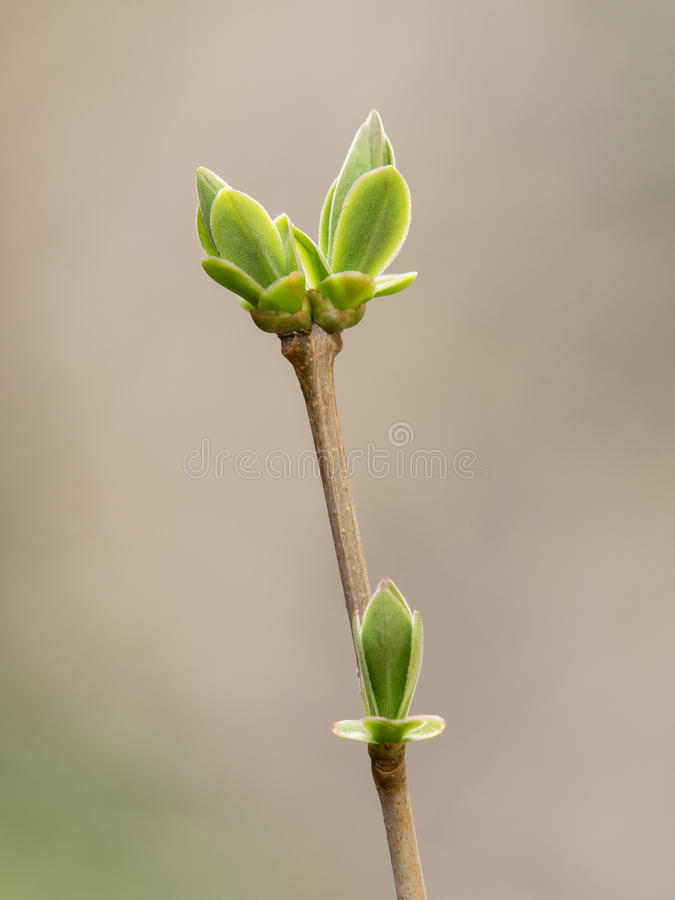 Budding leaves. Single close up of budding leaves royalty free stock photos