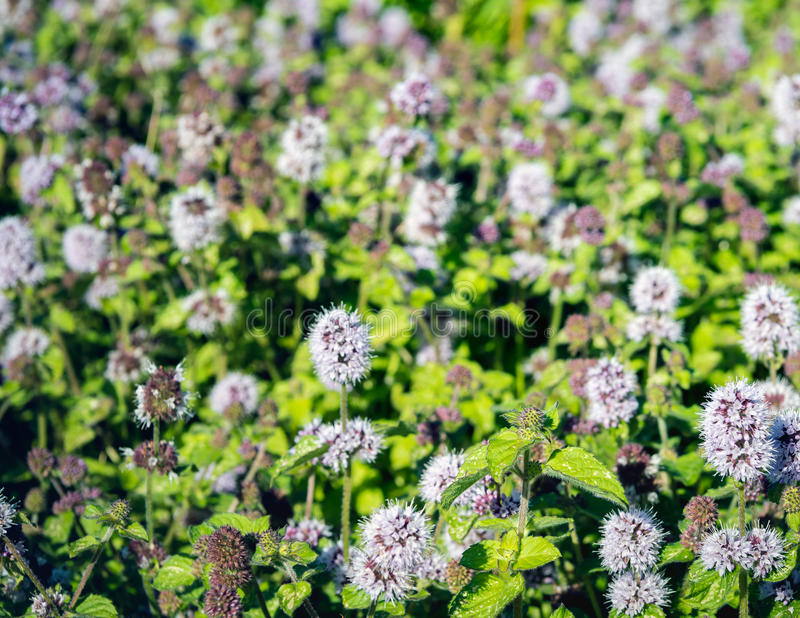 Budding and lilac flowering water mint plants from close. Closeup of a large field full of lilac and purple budding and blooming Water Mint or Mentha aquatica royalty free stock photography