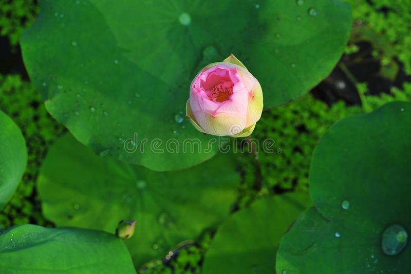 Budding~Lotusschoonheid royalty-vrije stock foto's