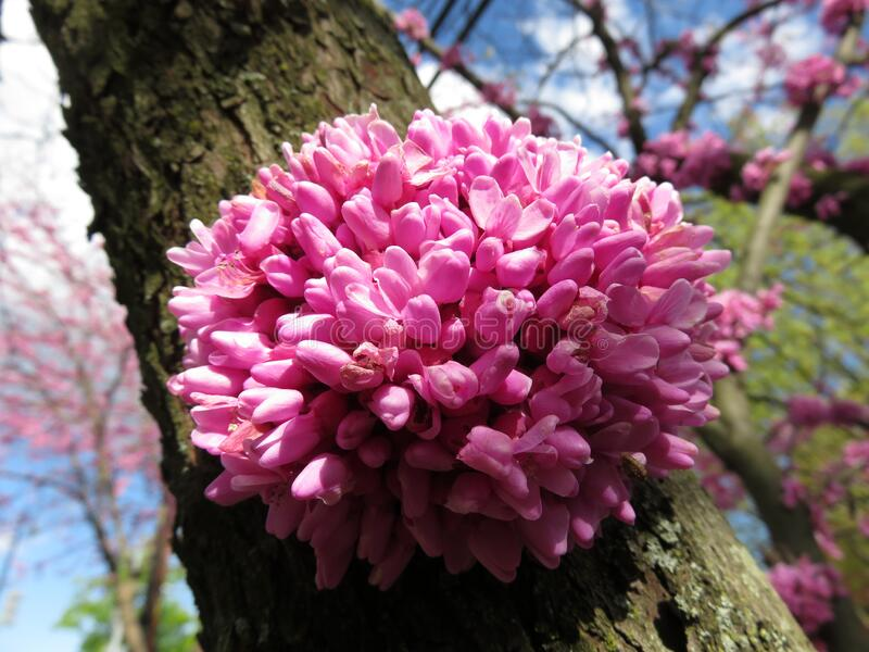 Budding Pink Flowers di aprile fotografia stock