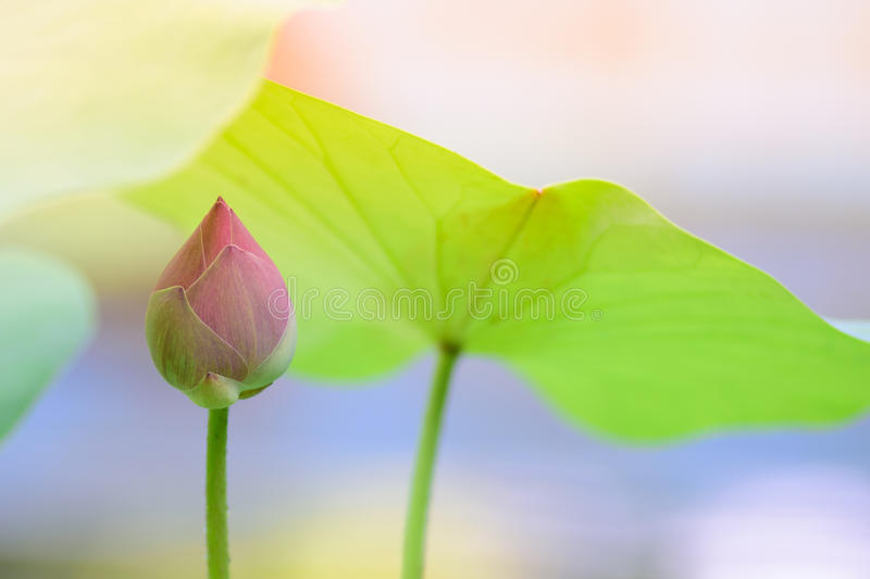 Budding pink lotus. The budding pink lotus and its leaves royalty free stock photography